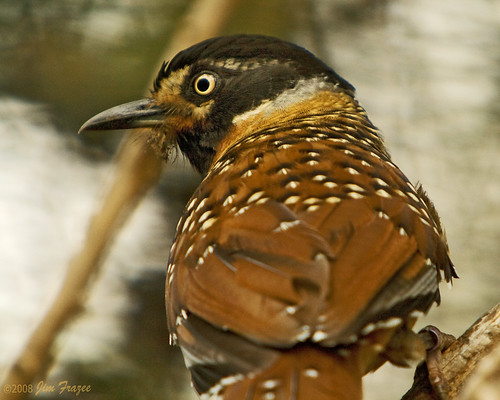 Spotted Laughing Thrush (c) 2008 Jim Frazee, some rights reserved